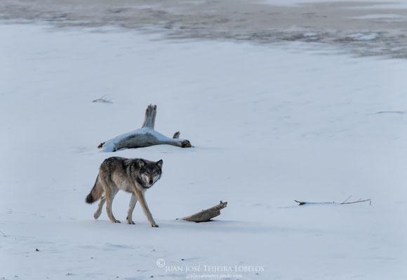 La mirada del lobo