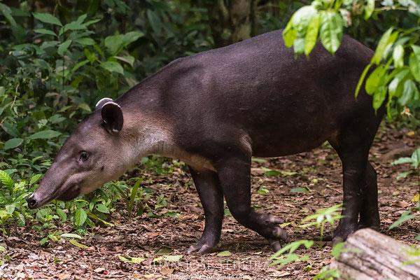 Danta, tapir centroamenricano, (Tapirus bairdii) parque nacional Corcovado.