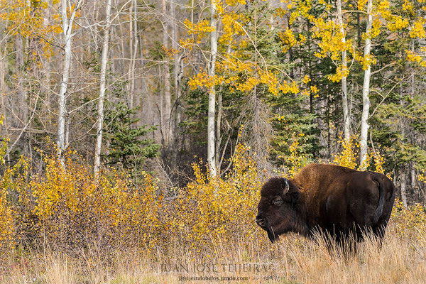 Bisonte americano de bosque (bison bison athabascae). Mackenzie Bison Santuary.