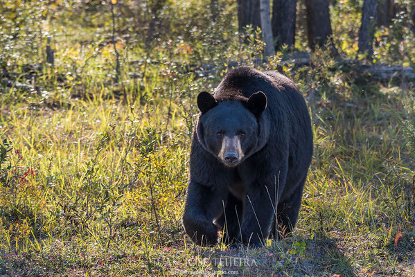 Oso negro (ursus americanus), Wood Buffalo National Park.