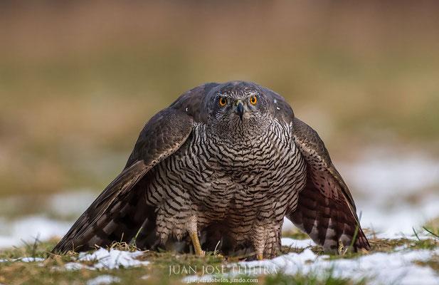 Azor (Accipiter gentilis) y su mirada.