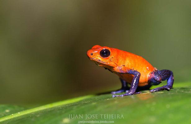 """Rana flecha roja y azul (Oophaga pumilio), también llamada """"Blue jeans"""""""