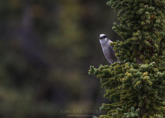 El Jay gris ha sido propuesto como el pájaro nacional de Canadá.