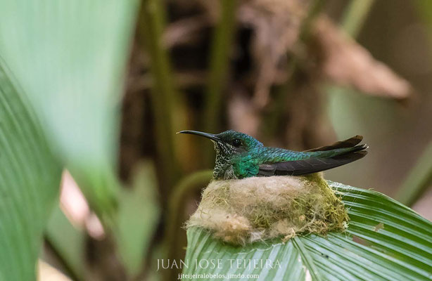 colibrí en su nido