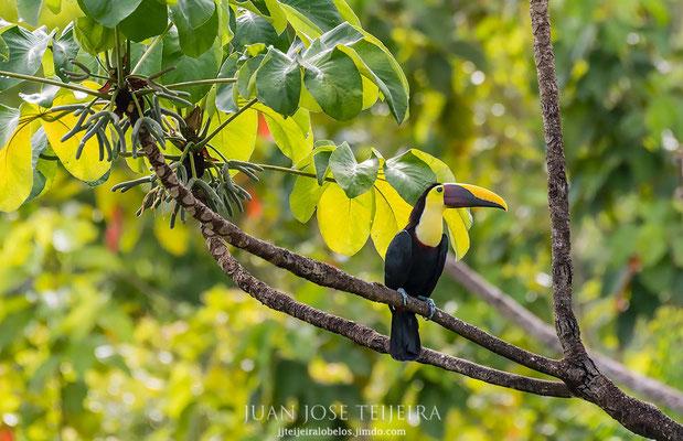 Tucan de pico negro ((Ramphastos ambiguus)