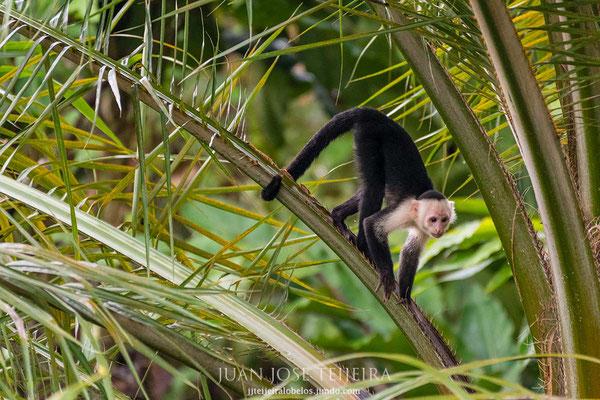 Mono capuchino (Cebus capucinus)
