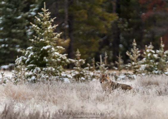 Coyote acechando en las afueras de Jasper