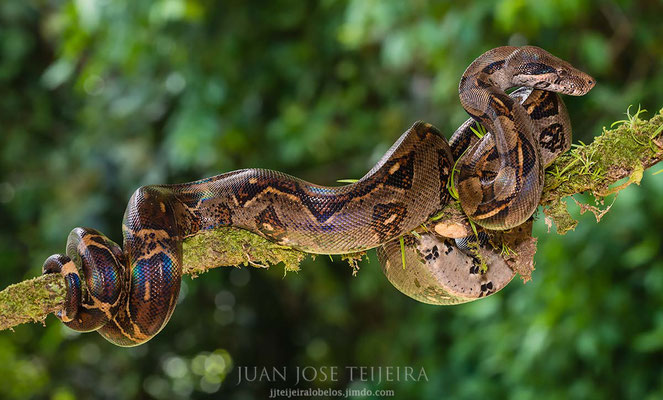 Boa constrictor.