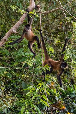 Mono araña de Geoffroy (Ateles geoffroyi).