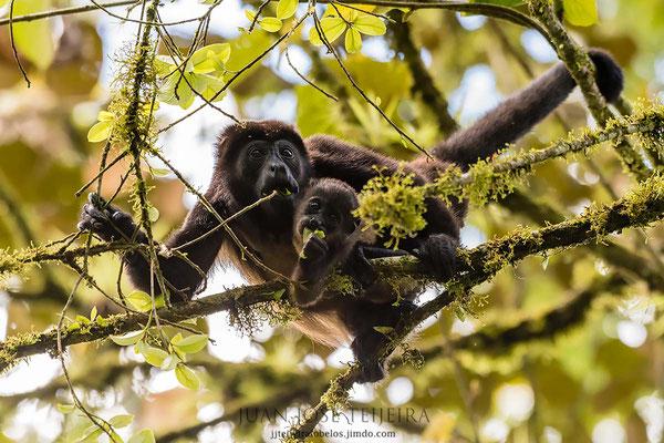 Mono aullador, hembra con cría, (Alouatta palliata).