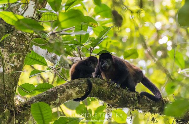 Mono aullador, (Alouatta palliata).
