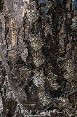 Murcielaguito narigón o murciélago de trompa (Rhynchonycteris naso). Refugio nacional de vida silvestre mixto Caño Negro.