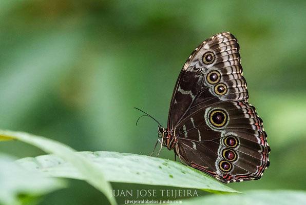 Morfo azul andina (Morpho peleides).