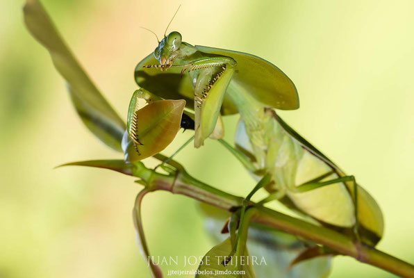 Mantis cobra (Choeradodis rhombicollis).