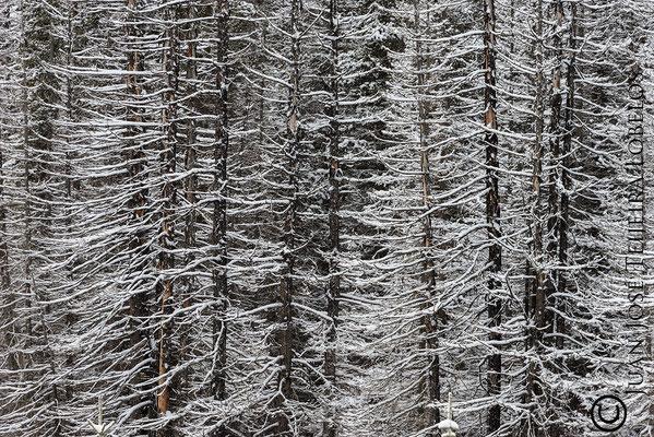 Bosque quemado y nevado