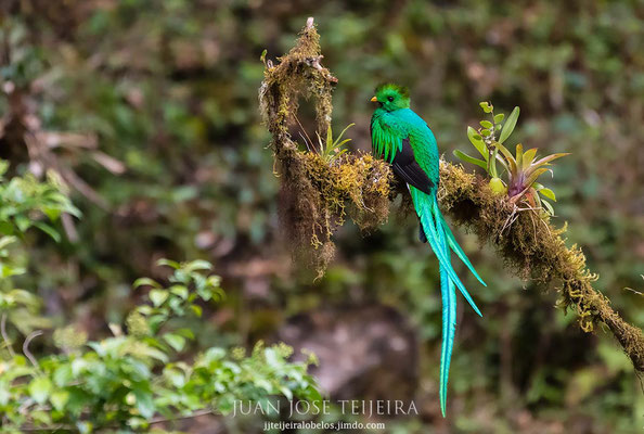 Quetzal centroamericano (Pharomachrus mocinno).