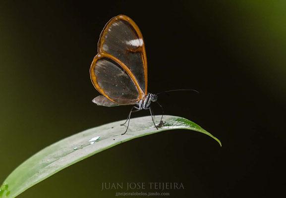 Mariposa greta nero.