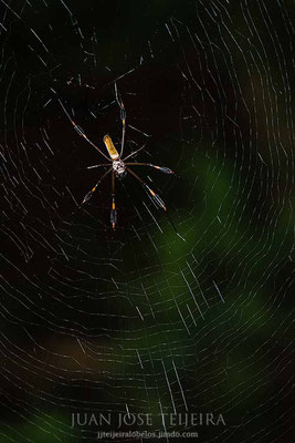 Araña seda dorada (Nephila clavipes)
