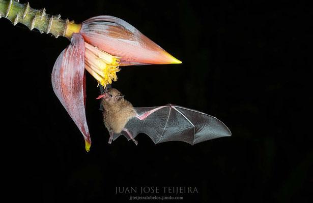 Murcielago siricotero de Pallas (Glossophaga soricina).