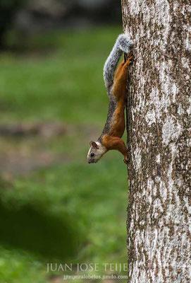Ardilla Chiza (Sciurus variegatoides)