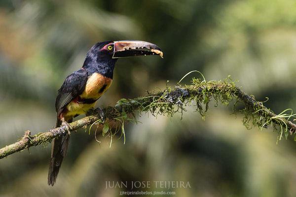 Tucancillo collarejo, (Pteroglossus torquatus)