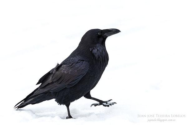 Cuervo ( Corvus corax )