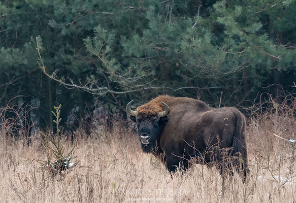 Bisonte (Bison bonasus).