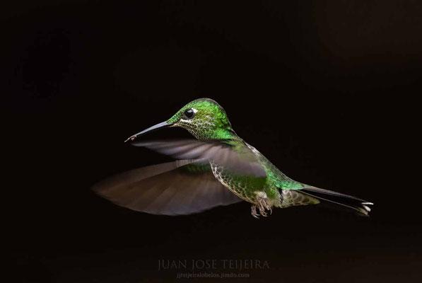 Colibrí brillante coroniverde (Heliodoxa jacula).
