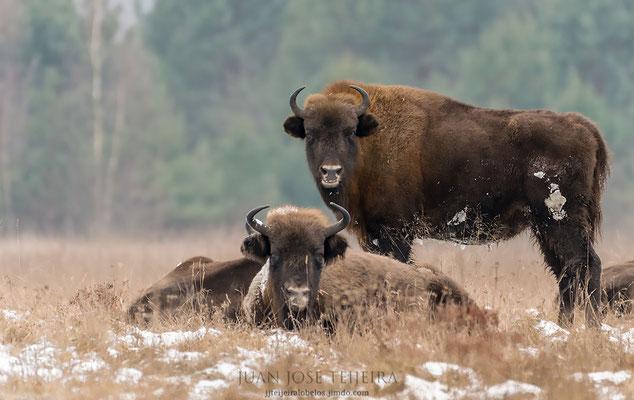 Bisontes (Bison bonasus).