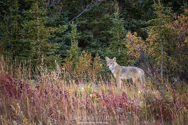 Coyote, (Canis latrans).