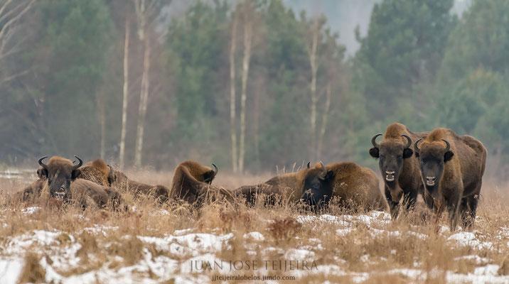 Grupo de bisontes en un claro del bosque.