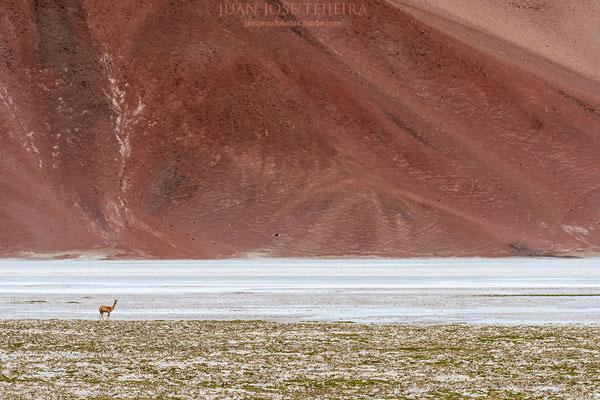 Vicuña (Vicugna vicugna) en su medio.