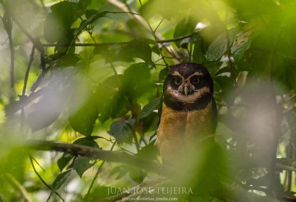 Lechuzón de anteojos (Pulsatrix perspicillata) en la espesura del bosque.
