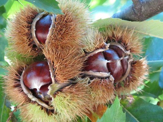 La Châtaigne, fruit emblématique de l'Ardèche!