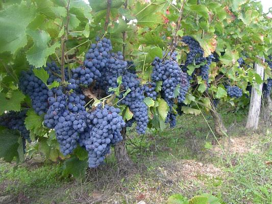 Vignoble ardéchois - Camping à la ferme Ardèche