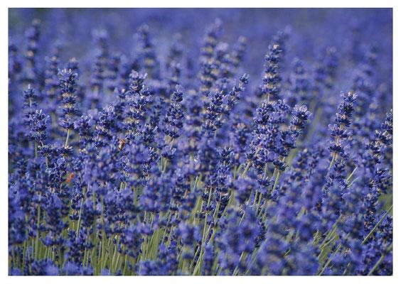 Lavendelfeld Nr. 90