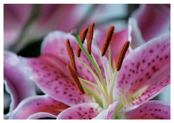offene Lilienblüte Nr. 77