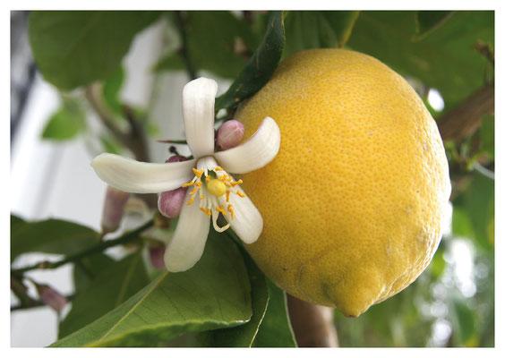 Zitrone mit Blüte Nr. 94