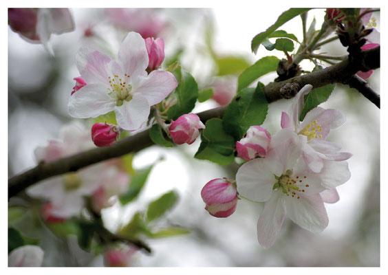 Apfelblüten Nr. 67