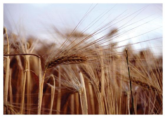 Getreidehalme in Weite Nr. 110
