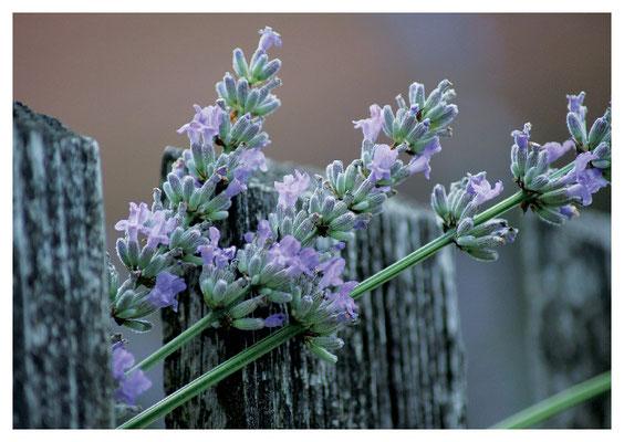 Lavendel am Zaun Nr. 76