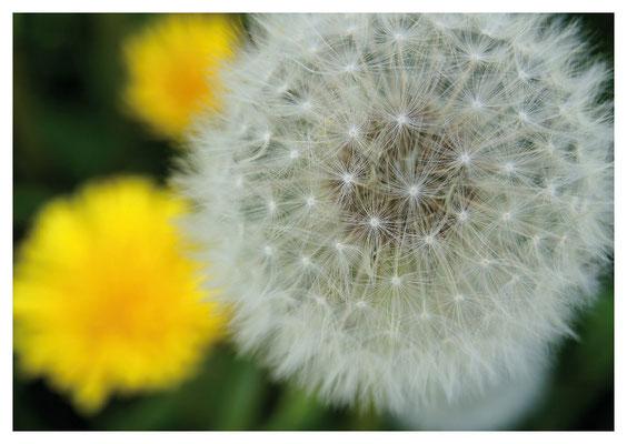 Löwenzahn und gelbe Blüten Nr. 73