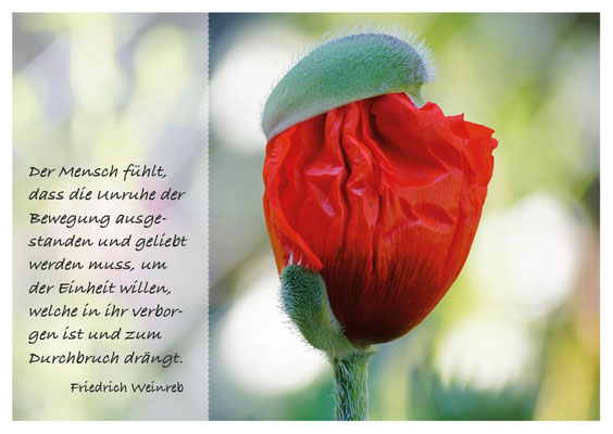 Mohnblüte mit Kapselhut Nr. 148