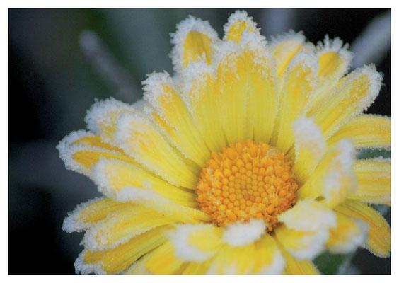 Ringelblüte im Reif Nr. 121