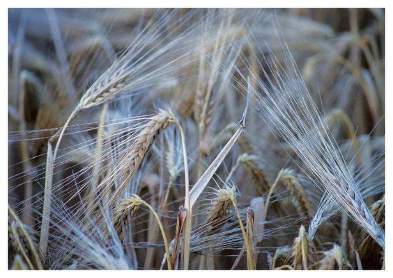 Getreidehalme Nr. 102