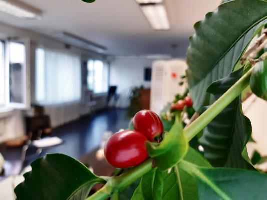 Reife Kaffeebohnen im Praxisraum