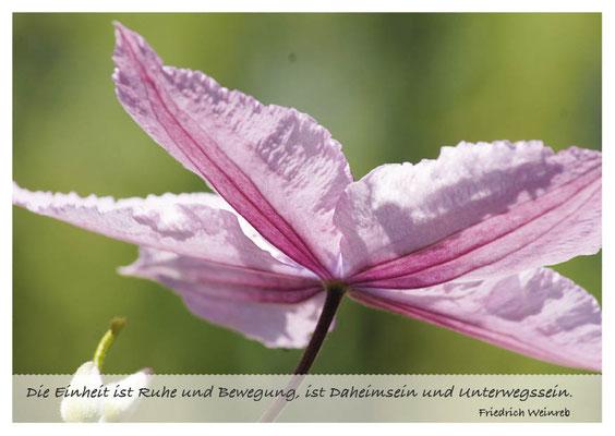 Rosa Clematis - Einheit von Ruhe und Bewegung Nr. 149