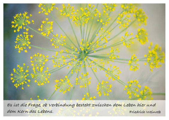 Fenchelblüte - Verbindung zwischen Leben und Kern des Lebens  Nr. 164