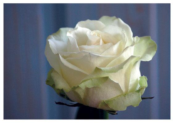 weisse Rose Nr. 88