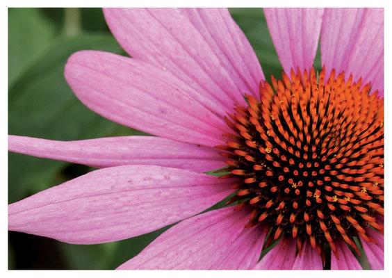 Echinazea-Blüte Nr. 81